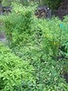 Same pic, zoomed out a bit.  Aji Omnicolor in the middle.  Tall Aji Habs on either side and next to.  Lower left, Cumari.