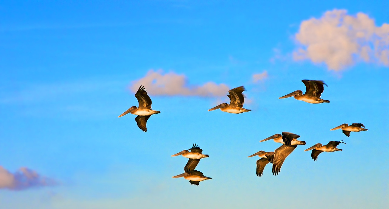A flock of pelicans fly over the water looking for food in the morning sunlight.