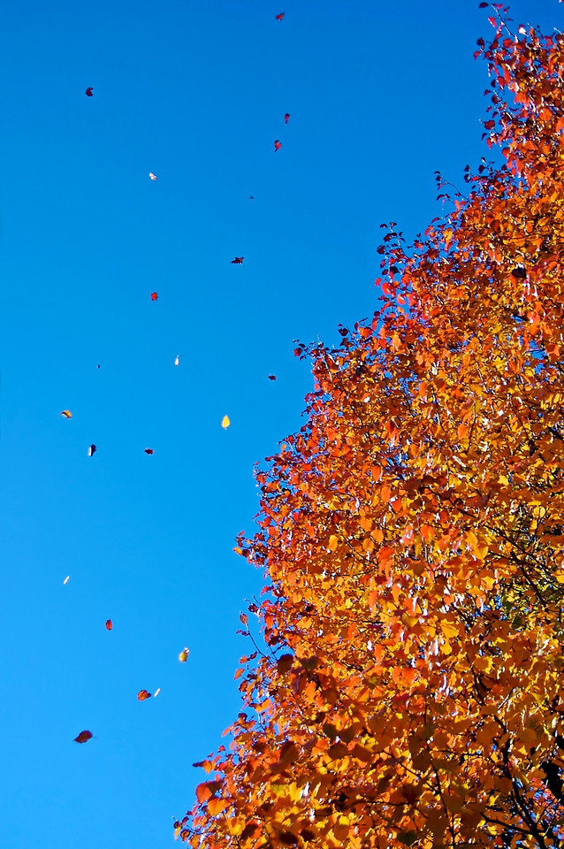 Fall leaves that are flying out of a bradford pear tree - wonderful autumn colors