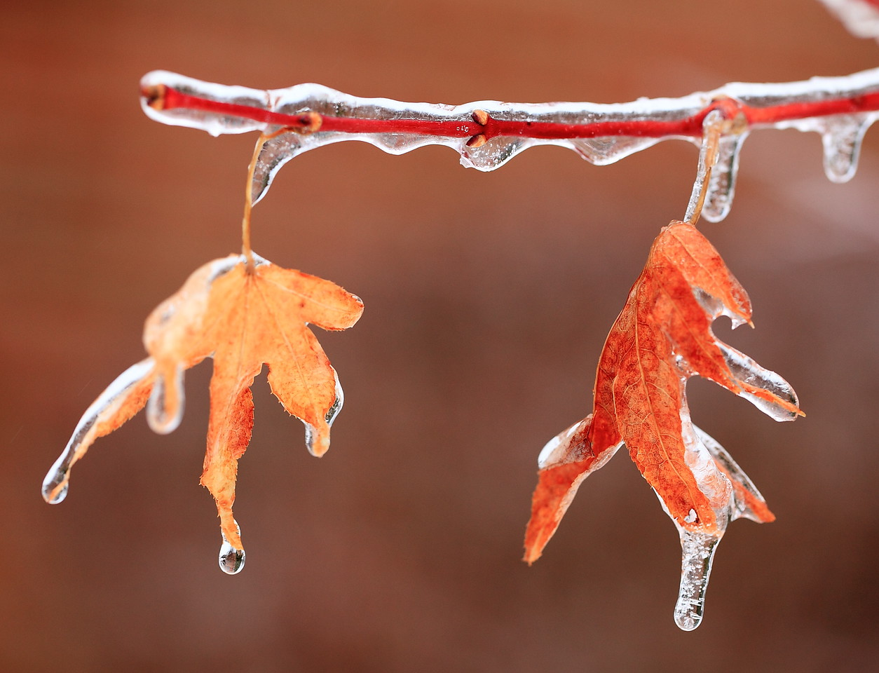 Japanese maple leaves in ice