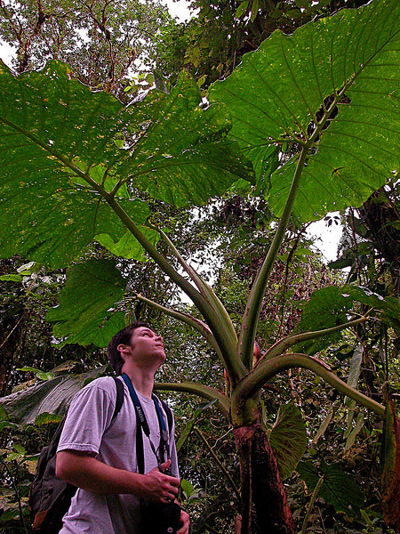 Giant leaves of a streamside Elephant Ear (Xanthosoma sagittifolium), Alberto Manuel Brenes Biological Reserve, Costa Rica