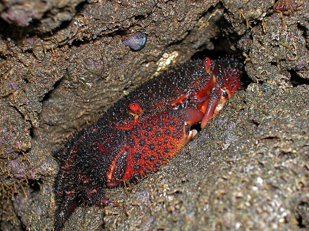 Rock crab in the intertidal, Osa Peninsula, Costa Rica