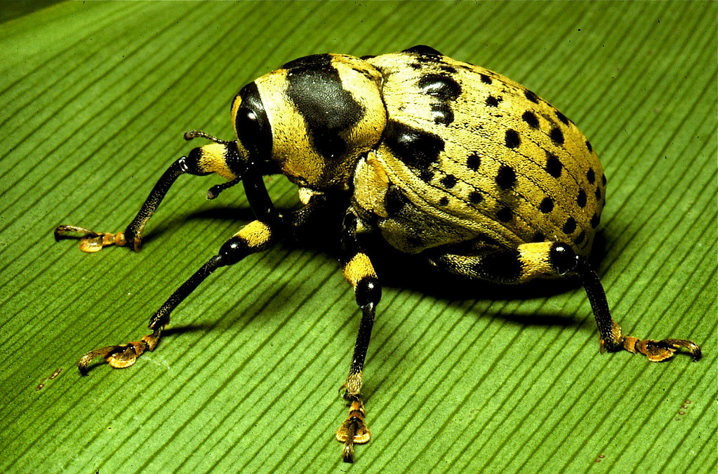 Weevil (Coleoptera, Curculionoidea, Cratosomus sp.).  I found this chubby beetle on vegetation along Pipeline Road in the Panama Canal Zone.  It's the only individual of this species I've ever seen.
