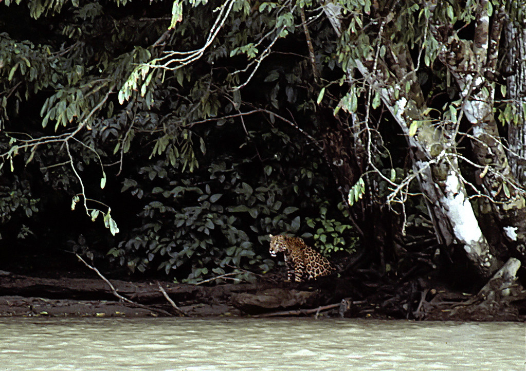 Jaguar at the mouth of the Rio Claro, Corcovado National Park, on the last frame of film I had  that afternoon.  This cat subsequently swam across the river (about a meter deep following heavy rainy season storms) and we had an interesting encounter.    Do not use this image in any form without my permission.  Copyright J.H Marden.