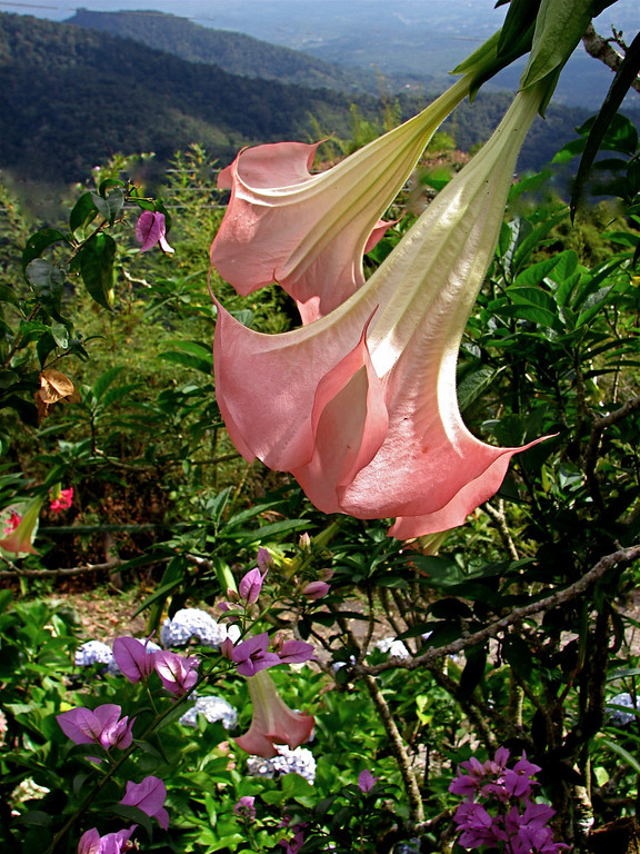 Datura arborea flowers in a garden in the mountains above San Isidro, Costa Rica