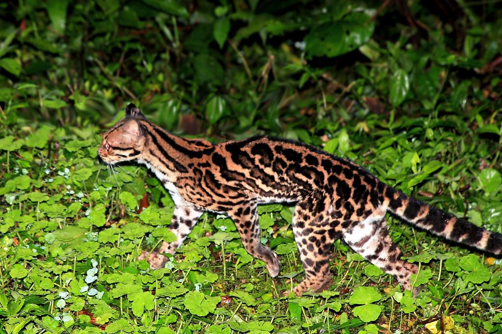 Margay (Leopardus wiedii), Reserva Biologica Alberto Manuel Brenes