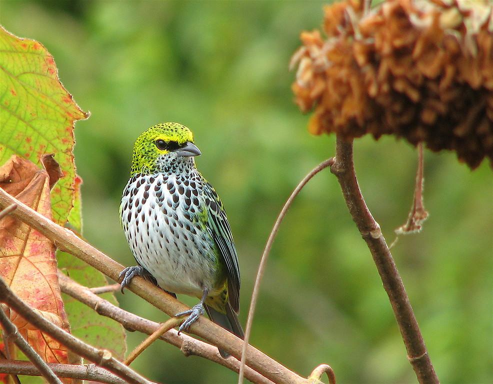 Speckled Tanager (Tangara guttata). Near San Isidro, Costa Rica.  Spanish names is tangara moteada.