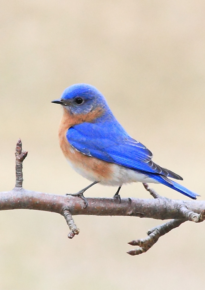 Handsome male bluebird in our pear tree.