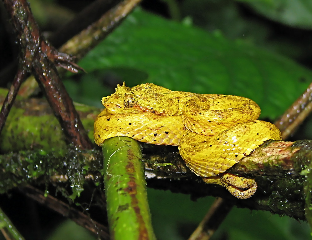 Eyelash viper (Bothriechis schlegelii) in vegetation about 1.5 m height on the road leading to Alberto Manuel Brenes Biological Reserve.  Spanish names are Toboba de pestaña, bocaracá, oropel.