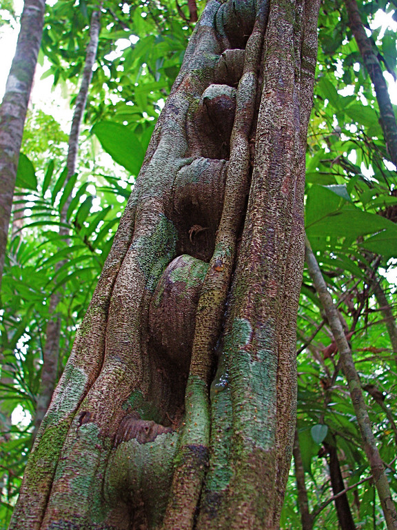 Monkey ladder vine, Corcovado National Park, Osa Peninsula, Costa Rica