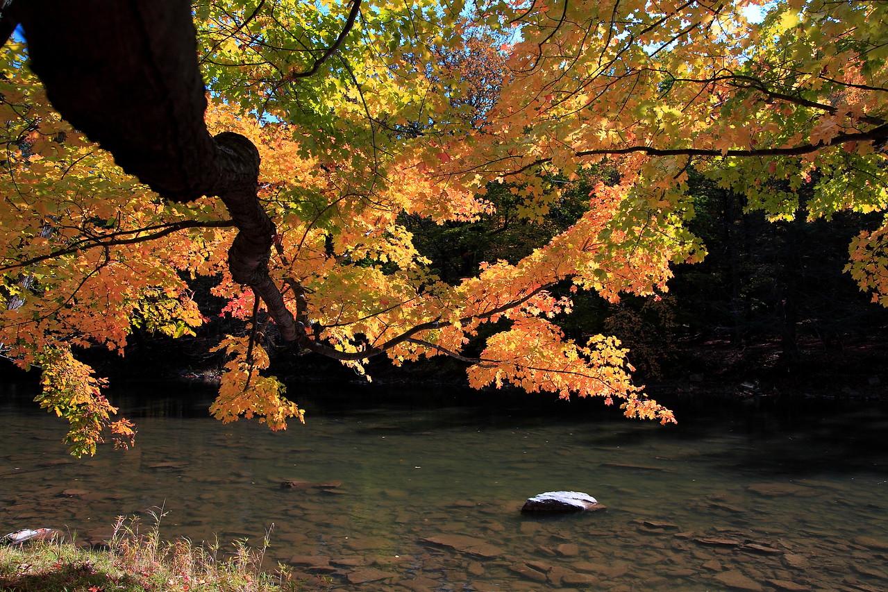 Fall maple limb extending over Penn's Creek