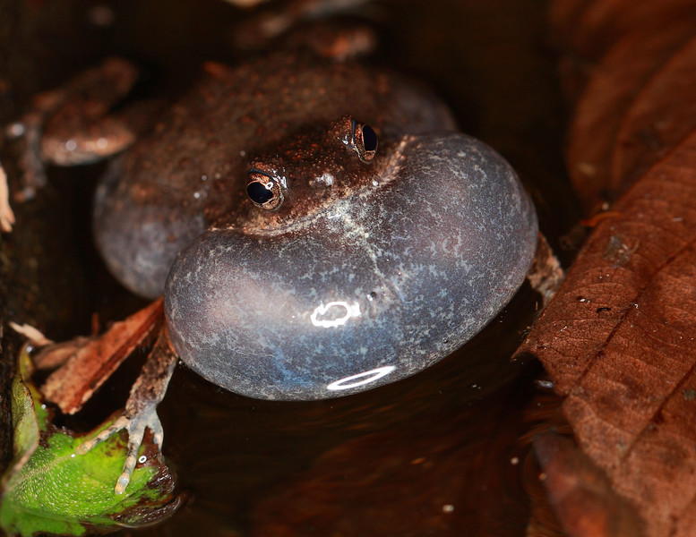 Túngara Frog (Engystomops pustulosus), made famous  by the studies of Mike Ryan and photographs of frog-eating bats by Merlin Tuttle.