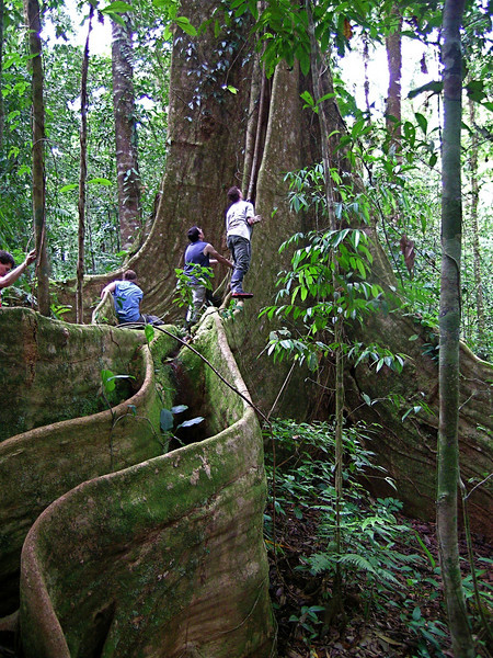 Giant buttress tree (Dussia macrophyllata), Campanario, Osa Peninsula, Costa Rica