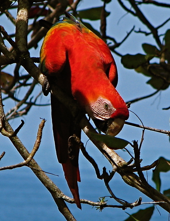 Scarlet macaw with the Pacific ocean in the background, Osa Peninsula, Costa Rica