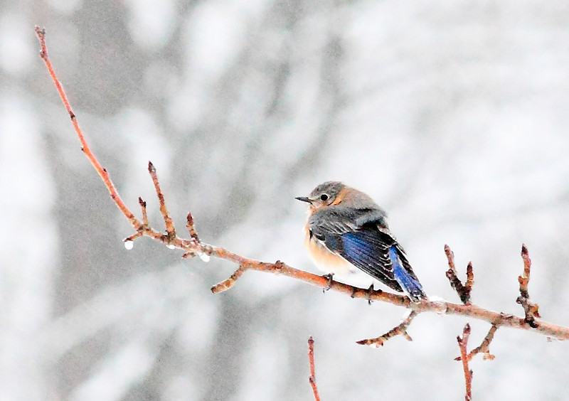 A chilly bluebird in March snow, patiently waiting for spring to arrive.
