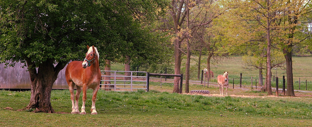 Oak Hall Farm (est. 1822), Oak Hall, PA. Breeders of champion Belgian horses and dairy goats.