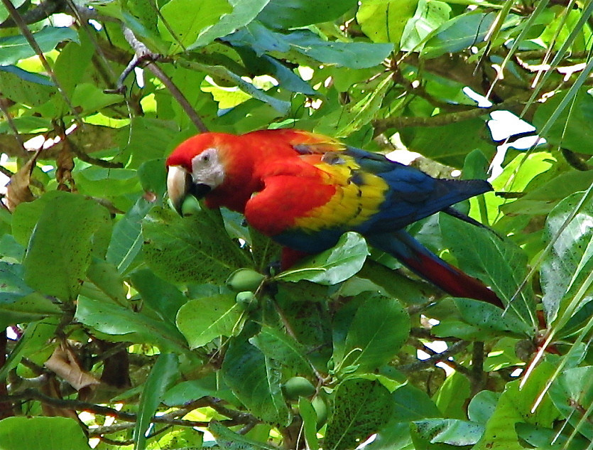 Scarlet macaw eating a beach almond, Osa Peninsula, Costa Rica