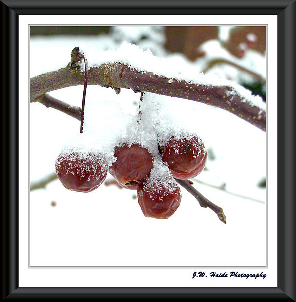 Crab Apples in the Snow