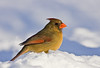 Northern Cardinal ( Female )