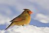 Northern Cardinal ( Female )
