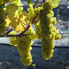 Sunlite grapes