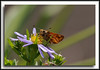Sony A700 + Sony 70-400G (cropped)<br /> - possibly a Woodland Skipper