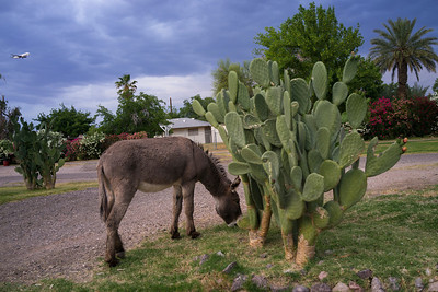 Donkey 293
