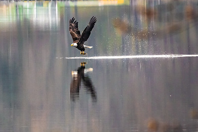 RobertEvans com  |  Minnesota Eagle