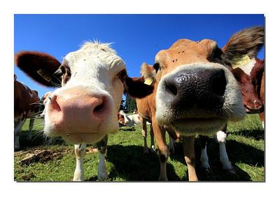 Vache au grand angle par Gérard