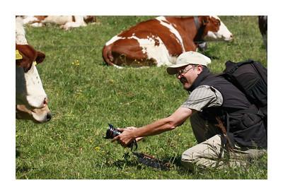 Ce n'est pas si facile que cela de photographier une vache, surtout si elle est pie. Ici Gérard en pleine action au grand angle.