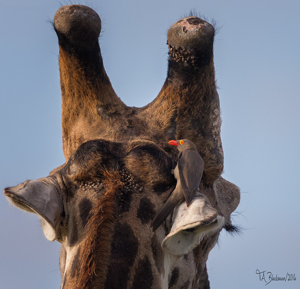 Red-billed Oxpecker and Giraffe