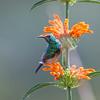 Orange-brested Sunbird