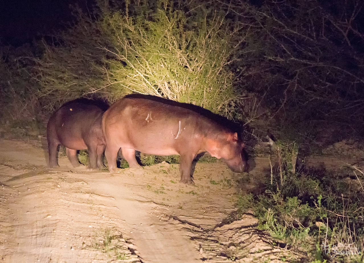 Hippopotamus road block