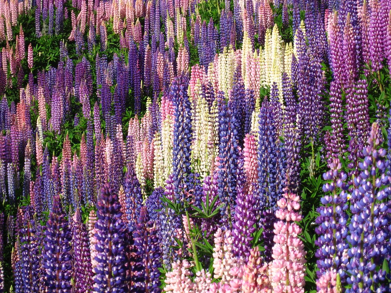 Lupins near Bariloche, Argentina