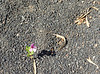 Tough soil to grow in. Flower, Ascension Island.