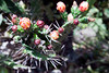 Cactus flower, Green Mountain, Ascension Island.