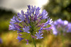Flower at Longwood House, St. Helena island, South Atlantic Ocean.
