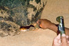 Nesting turtle, Ascension Island.