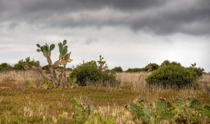 Cactus, St. Helena island, South Atlantic Ocean.