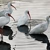 Ibis Group