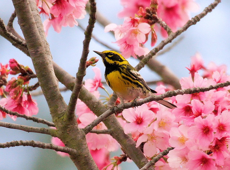 Townsend's Warbler in blossoming Japanese Cherry Blossom  tree, Feb 25 2009.