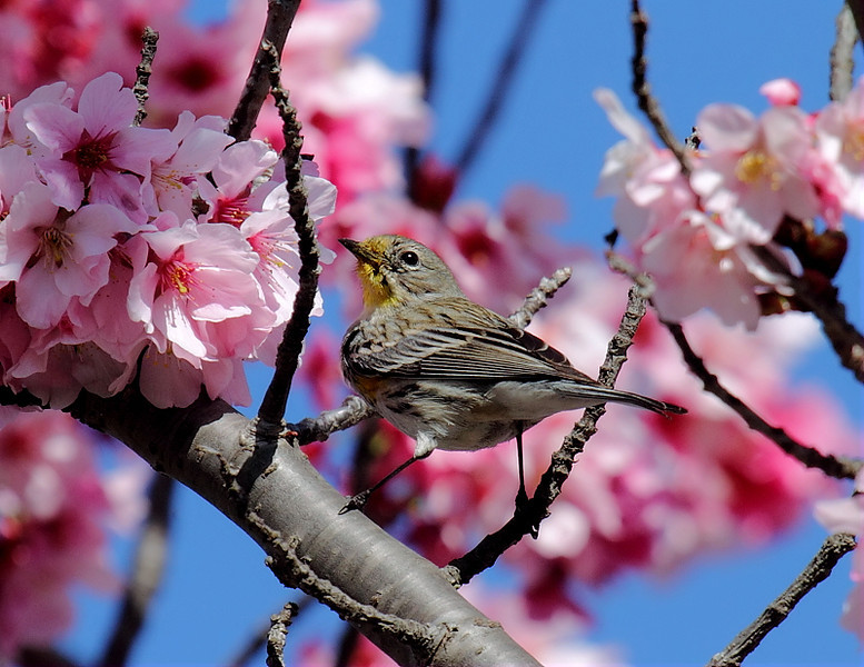 Yellow-rumped Warbler in a Japanese Cherry Blossom Tree, March 9 2013.