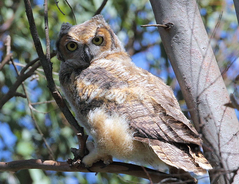 A young Great-horned Owl near Hidden Meadow, April 2010.