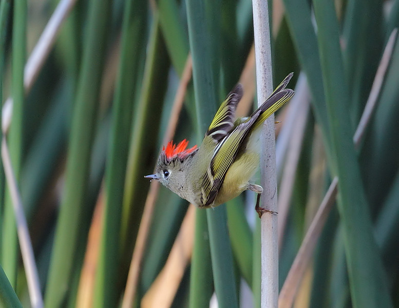 Ruby-crowned Kinglet displaying his ruby crown, in the reeds along the creek.