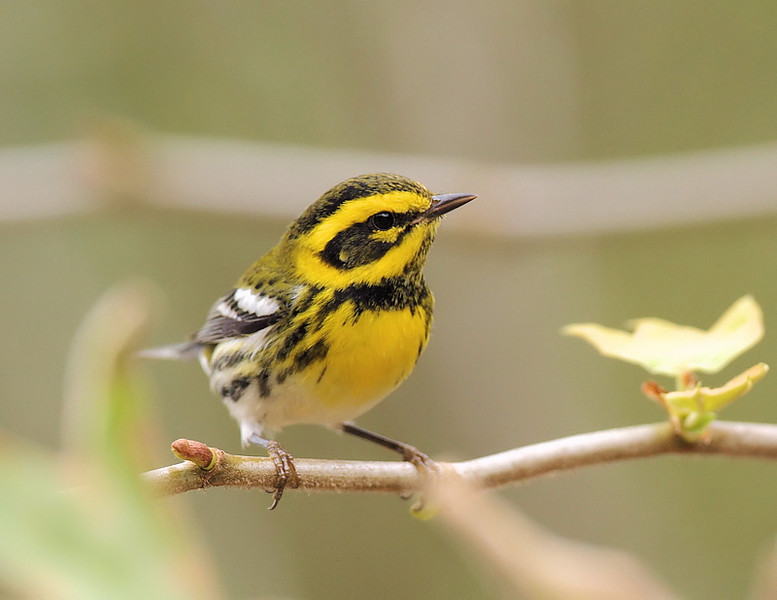 Townsend's Warbler, October 21 2010.