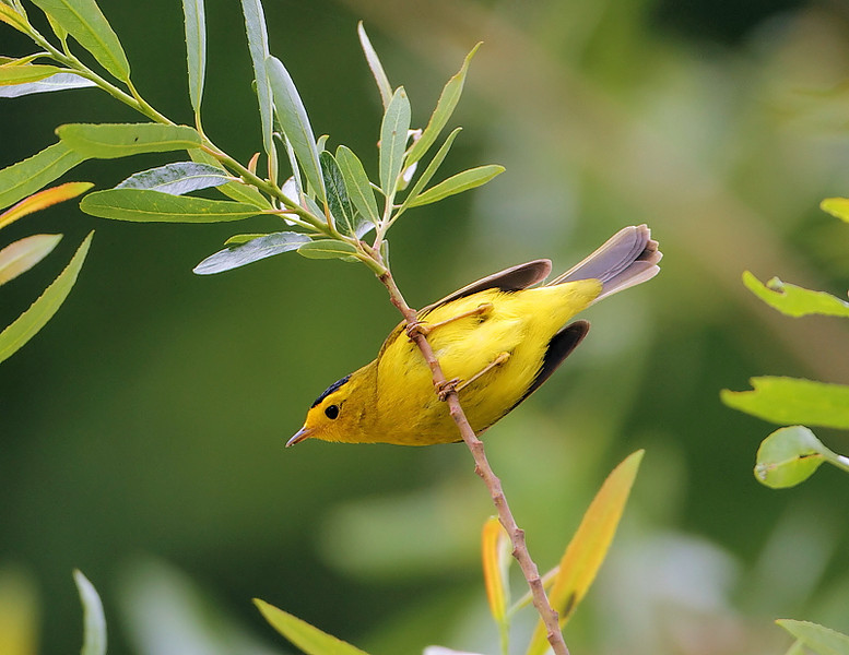Another view of the Wilson's Warbler in a willow tree along the creek on April 24, 2010.