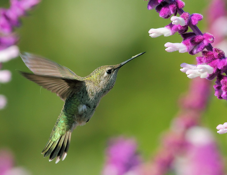 Anna's female hummingbird at the Salvia Leucantha (Mexican Bush Sage), May 8 2010.