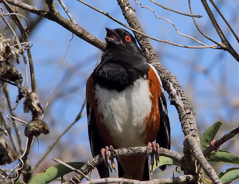 A Spotted Towhee singing near Hidden Meadow, April 2012.