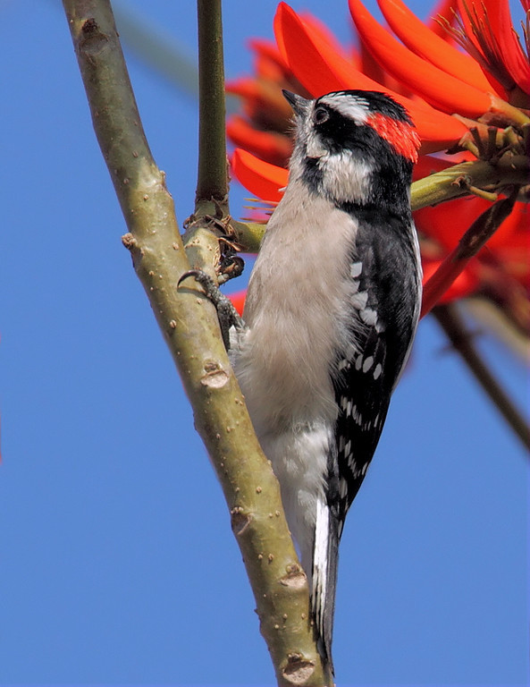 A male Downy Woodpecker investigating a Carob Tree, January 2013.