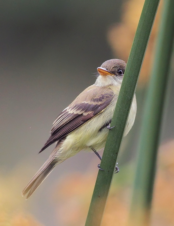 Another look at the Willow Flycatcher, a bird rarely-seen at  the Garden.